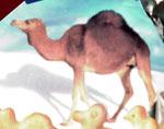 Camel from Israeli animal crackers